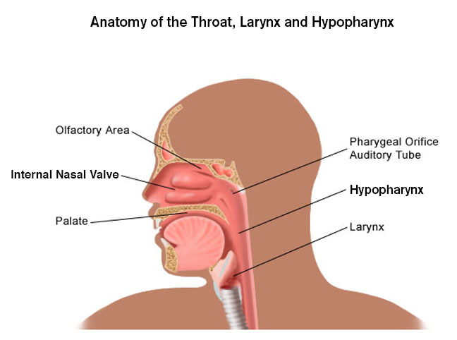 Laryngeal and Hypopharyngeal Cancer - Brigham and Women\'s Faulkner ...